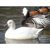 Ross Snow Geese