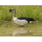 African Comb Duck