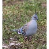 Australian Crested Doves