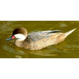Blue Fawn Bahama Pintail