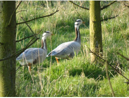 Barheaded Geese