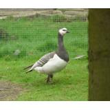 Silver Barnacle Geese