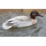 Apricot Green Winged Teal
