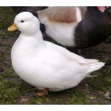 Miniature White Call Ducks