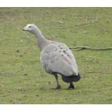Cereopsis Geese