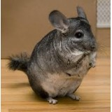Grey chinchillas