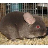 Chocolate boy chinchilla