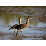Cuban Whistling Duck