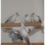Pied Diamond Doves