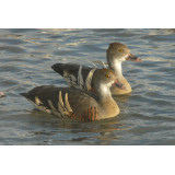 Eytons Whistling Duck