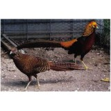 Dark Golden Pheasants