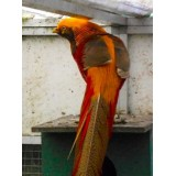 Cinnamon Golden Pheasants
