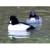 European Goldeneye