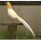 Peach Golden Pheasants
