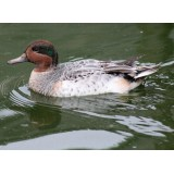 Silver Green Winged Teal
