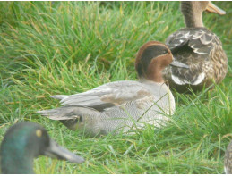 Blue Green Winged Teal