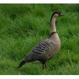 Hawaiian (NeNe) Geese