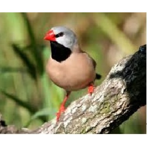 Birds For Sale >> Hecks Grass Finches