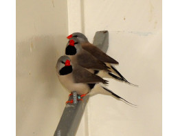 Silver Hecks Grass Finches