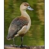 Javan Whistling Ducks