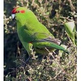 Green Kakarikis