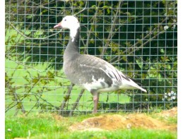 Blue Phase Lesser Snow Geese