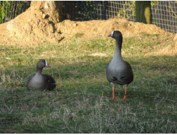Lesser White Fronted Geese