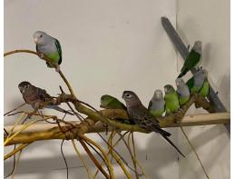 Madagascan Lovebirds