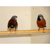 Parsons Finches