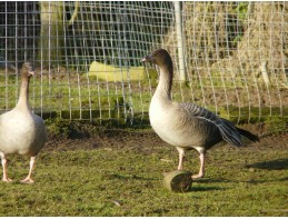 Pink Footed Geese