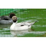 Silver Northern Pintail
