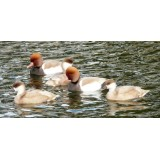 Blonde Red Crested Pochard