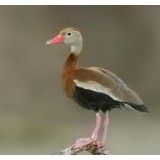 Red Billed Whistling Ducks