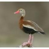 Red Billed Whistling Ducks