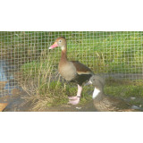 Southern Red Billed Whistling Ducks