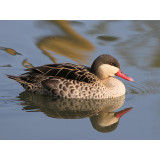 Red Billed Pintail