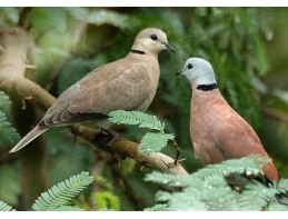 Red Turtle Doves