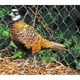 Reeves Pheasants