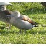 Blonde Ringed Teal