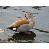 Orange Ringed Teal