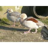 Ringed Teal Ducklings