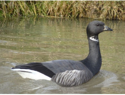 Russian Brent Geese