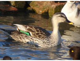 Indian Spotbill Duck