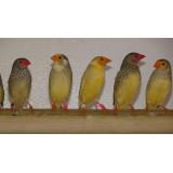 Starfinches
