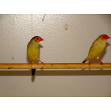 Star Finches