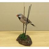 Hecks Grassfinch