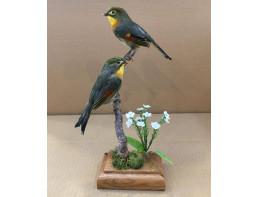 Pekin Robin pair