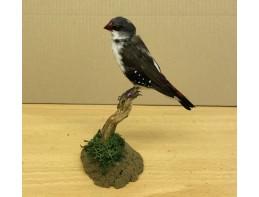 Pied Diamond Sparrow