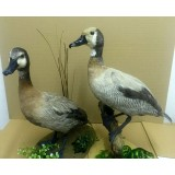 Silver White Faced Whistler pair