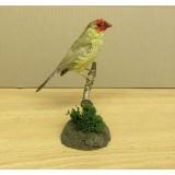 Starfinch